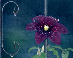 C is for Clematis (Deirdre Butler-Derby) Tags: flower green metal d50 nikon purple clematis vine deebd