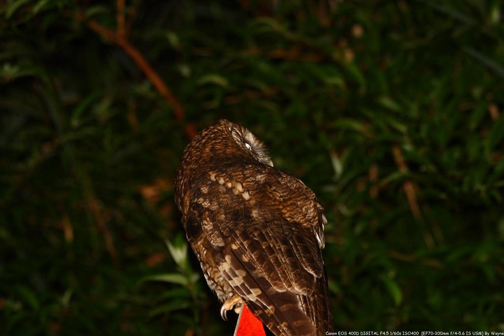 Tawny Wood Owl 灰林鴞 - IMG_8846