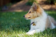 The Calm Before the Storm (Kerfuffle~) Tags: dog pet puppy sheltie ollie selectivefocus shallowdof housepet shetlandsheedog