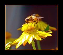 Appetizer I (Jorbasa Mwa) Tags: flower yellow deutschland hessen bee gelb sunflower blume arbeit insekt gemany biene sonnenblume wetterau jorbasa livingbeauties
