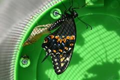 Black Swallowtail Butterfly & Chrysalis