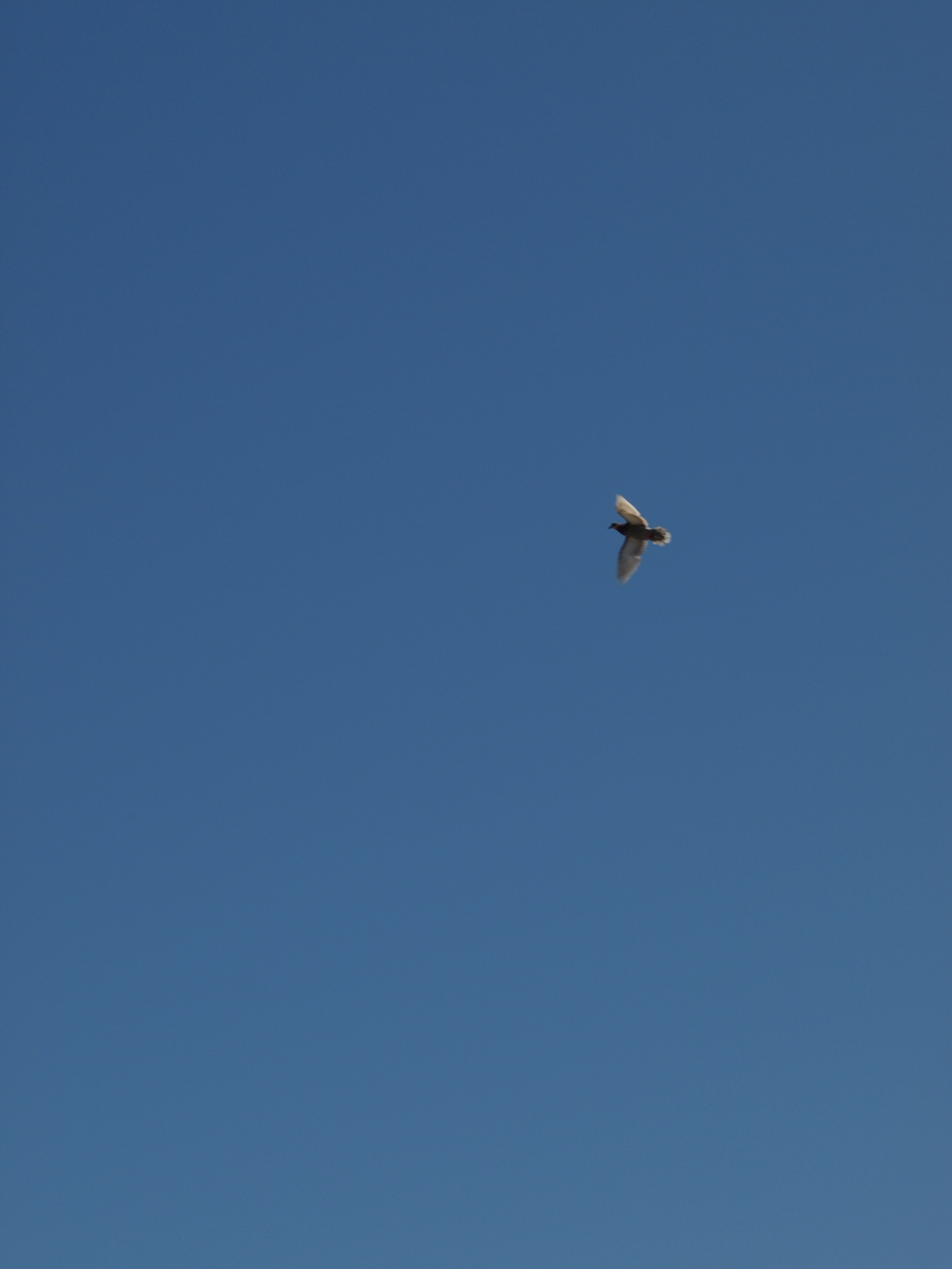 A Pigeon into the blue sky