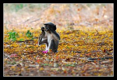 Monkey - Black-footed Gray Langur (Semnopithecus hypoleucos)