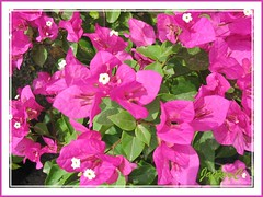 Bougainvillea 'Smartie Pants' or 'Smarty Pants' with pink bracts, in our neighbourhood