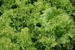 Salat (vandevoern) Tags: germany deutschland lettuce pea salat alemanha gemse alface niedersachsen dinklage ervilha erbse gemsegarten oldenburgermnsterland hhne baixasaxnia