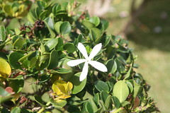 Bearberry (Arctostaphylos uva-ursi ) (cliff1066) Tags: hawaii oahu mosaic graves okinawa columbarium honolulu carillion unknownsoldier iwojima punchbowl brucemoore nationalmemorialcemeteryofthepacific attu memorialcemetery koolaumountains bearberry ladycolumbia doolittleraiders battleofmidway kokonoevine cemeteryofthepacific yellowbougainvillea mapgalleries liberationofthephilippines