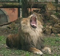 sleepy (silangel) Tags: animal zoo lion sleepy lmos oroszln st