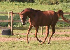 Antonyo (jacqigg) Tags: uk horses horse gg arab chestnut arabian arabianhorse youngster equine arabs twoyearold arabians 2yrold gelding equines arabianhorses arabhorse arabhorses russianarabianhorse bycossackvodaphone