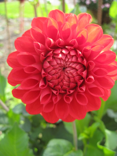 Red dahlia in Corvallis