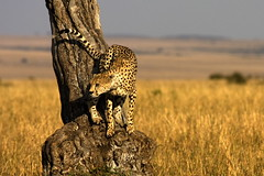 The hunter. (Maurizio Contini) Tags: africa tree animals kenya african cheetah hunter prey maurizio wildbeast contini inhabitants flickrbigcats