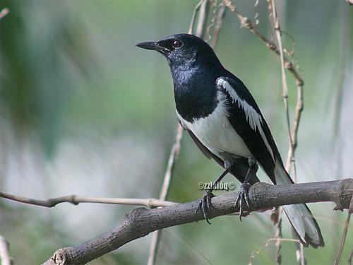 Murai Kampung @ Oriental Magpie Robin