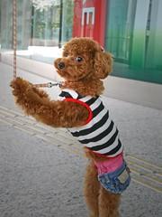 No leash, please! (tanakawho) Tags: dog pet eye animal bag nose sweater pavement leg stripe fluffy ear apricot leash toypoodle tanakawho