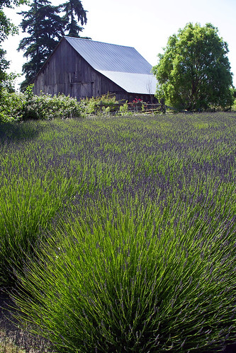 Olympic Peninsula Lavender Farms