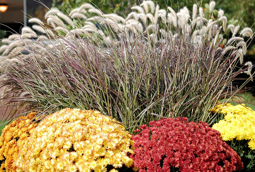 Mums  & Grass - by Mayo Clinic Rochester MN