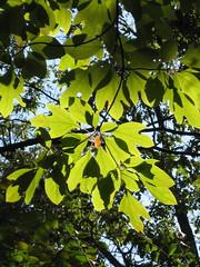 sassafras shadows (poppy2323) Tags: tree native northamerica eastern rootbeer oval sassafras trilobed bilobed 3leafshapes mittenshaped