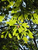 sassafras shadows (poppy2323) Tags: tree native northamerica eastern rootbeer oval sassafras trilobed bilobed 3leafshapes mittenshaped