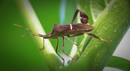 Squash Bug by whitney5544