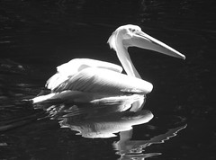 pelican reflection (SmartAnnie (Away)) Tags: blackandwhite bw reflection pelican southerncalifornia wildanimalpark escondido theunforgettablepictures