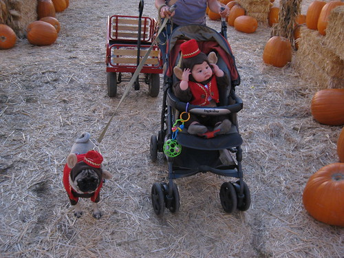 monkeys at the pumpkin patch