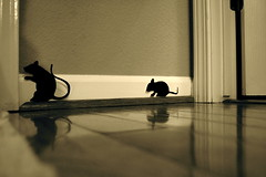 things that go bump in the night (sevenworlds16) Tags: shadow halloween silhouette wall paper rats forchristmas imightleavetheseupasmice
