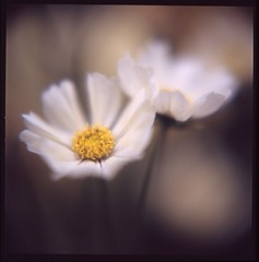 Thin yellow cosmos (satoshi  denuclearization) Tags: life friends great photographers inspire magical mb soe excellence worldclass iloveit blueribbonwinner littlestories greatphotographers photographi beautifulmacro pequeascosas flickrsbest fantasticflower masterphotos mywinners mywinner autaut platinumphoto wowiekazowie thegoldentouch citrit theunforgettablepictures newacademy eliteimages top20white worldsbestdazzlingshots excellentflowers goldstaraward dragongoldaward macroflowerlovers excellentsflowers picswithsoul flickrsexquisiteshots 4mazingorgeoushotsoflowers multimegashot rubyphotographer phenomenalpictureperfect mikesdance throughyoureyestoours magicdonkeysbest michelangelosbox kunstplatzlinternational simplythebest~flowers kornrawieegallery theflowerbasket artofimages dragonflyawards saariysqualitypicturesgallery soulofphotography absolutegoldenmasterpiece thedantecircle artistictreasurechest bestcaptureaoi