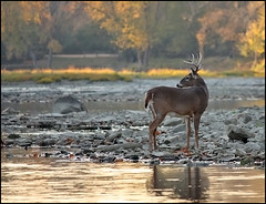 Deer at Sidecut 1 (gabebalazs) Tags: canon wildlife deer maumee sidecut digitalcameraclub 40d 55250mm alittlebeauty