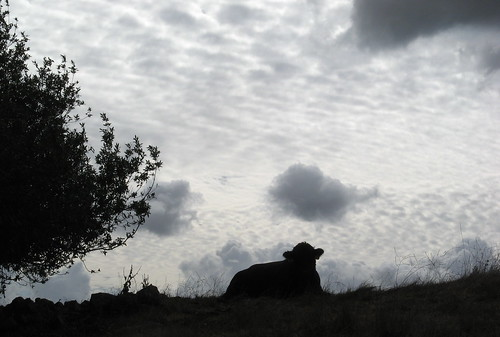 Angus bull in silhouette