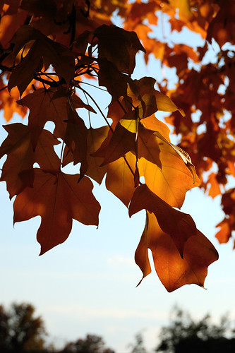 orange leaves 2