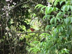 Red bird (Sparky the Neon Cat) Tags: red bird southamerica animal america san colombia south el maco agustin huila finca sanagustin fincaelmaco