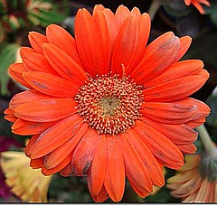 Red Gerbera (BB-1013 (Amazing 2013)) Tags: red plant flower gerbera reddaisy fantasticflower flickrsfantasticflowers flickrsfantasticflower