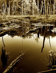 Evening At Beaver Swamp (Baab1) Tags: trees blackandwhite bw rot monochrome sepia reflections nikon shadows decay sunsets maryland beaver waterlilies swamps wetlands scenics goldenhour beavers deadtrees calvertcliffs southernmaryland marylandparks calvertcountymaryland flagpond beaverswamp mywinners abigfave platinumphoto aplusphoto lusbymaryland flickraward theunforgettablepictures goldstaraward marylandscenics damniwishidtakenthat marylandwetlands d3001755nikkor calvertcountyparks calvertcountywetlands waterhabitats