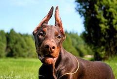 Campary (Devilstar) Tags: dog brown outdoors golden chain land doberman pinscher dobermann flox koer campary  legrant