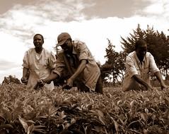 CIMG0793' (wil4713) Tags: africa sepia tea kenya labor teapickers