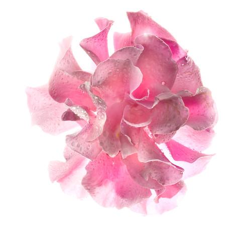 Dreamweaver Rose