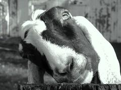 (jjs08) Tags: friends bw art smile digital photography photo interestingness interesting farm goat indiana explore finepix lookatme fujifilm mustsee explored flickrific amazingamateur goldstaraward jjs08 newenvyoffickr