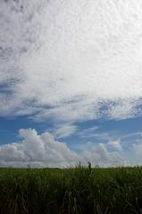 どこまでも続くサトウキビ畑