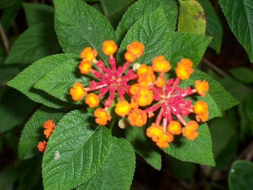 橘色像雪花的花朵造行