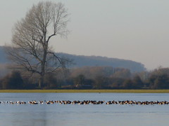 geese, port meadow (venetia 27) Tags: trees misty geese december hills oxford flooded portmeadow