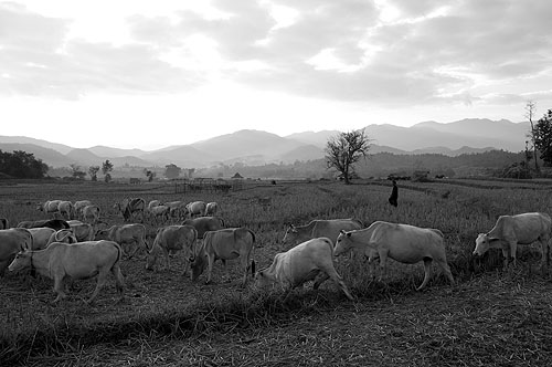 Cows coming home outside Pai, Mae Hong Son, northern Thailand