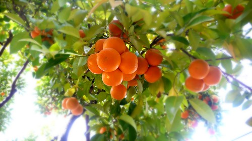 """Orange Tree • <a style=""""font-size:0.8em;"""" href=""""http://www.flickr.com/photos/71572571@N00/3110854164/"""" target=""""_blank"""">View on Flickr</a>"""