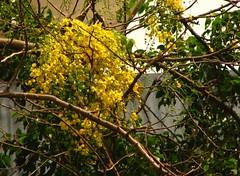 visiting kerala well ahead of vishu (dendapani) Tags: kanikonna