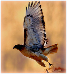 ~~~ be free ~~~ (xandram) Tags: photoshop wings hand soe redtailhawk naturesfinest theunforgettablepictures theperfectphotographer
