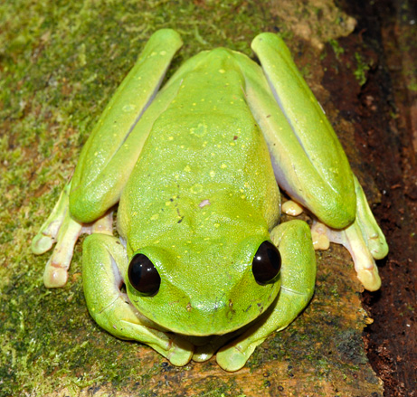 Scientists discover 56 new species on remote lost world papua new a large brilliant green tree frog nyctimystes species with enormous eyes was discovered by scientists next to a clear running mountain river sciox Images