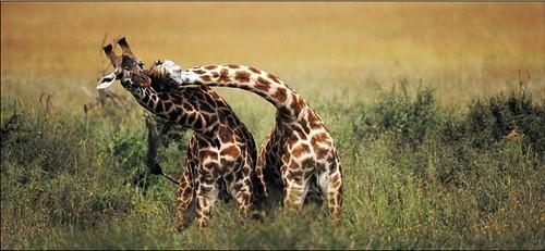 Giraffe Mates.jpg