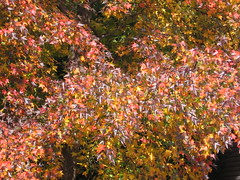 changing (bageriab) Tags: autumn color tree fall nature leaves canon happy rainbow peace parts seasonal peaceful changing change tonal rainbowtree
