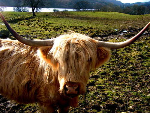 A Highland Close-Up