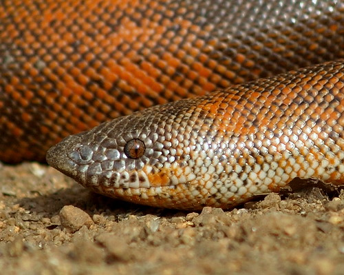 Indian Red Sand Boa by kamalnv / Ophiographer.