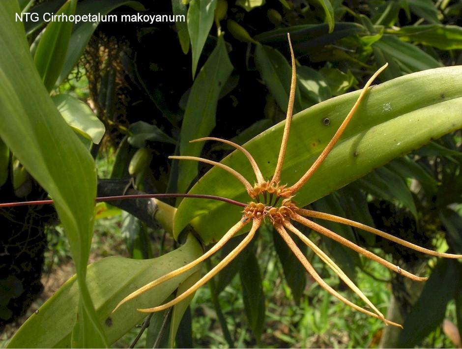 Cirrhopetalum makoyanum