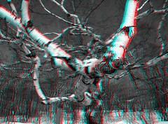 The Amazing And Beautiful Birch (3D anaglyph) (crows_in_trees) Tags: tree cemetery 3d montreal branches anaglyph birch twisted 3danaglyph redcyan mountroyalcemetery theamazingandbeautifulbirch