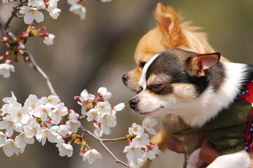 Wanko mo hanami or cherry blossom sniffing.